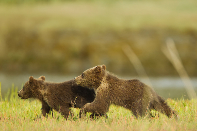 These two brown bear cubs are running back to their mother after coming dangerously close to a male bear that could have killed them.  The mother later chases the young male bear from the area where her family is grazing in Lake Clark National Park, Alaska.  Photo by Gus Curtis.