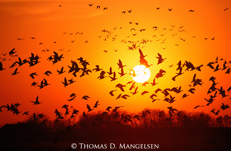 As the sun sets, snow geese and other waterfowl fly to their resting spots for the night.