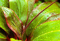 Ti or Ki in rain, red/green Cordyline fruticosa