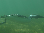 Common Loon, (Cavia immer) Minnesota state bird