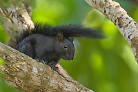 679310005 a wild adult black color phase red-bellied squirrel sciurus aureogaste perches on a tree limb on a private ranch in tamaulipas state mexico
