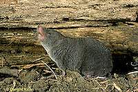 MU10-028z  Short-tailed Shrew - smelling air for scent of prey - Blarina brevicauda