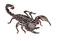 Imperial / Emperor / Giant African scorpion {Pandinus imperator}. Captive. Originating form Africa. website