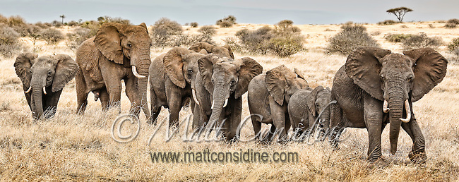A line of elephants walking single-file through grassland savannah sense our presence and raise their ears in alarm in the Masai Mara Reserve, Kenya, Africa (photo by Wildlife Photographer Matt Considine)