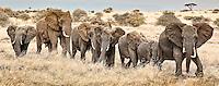 A line of elephants walking single-file through grassland savannah sense our presence and raise their ears in alarm in the Masai Mara Reserve, Kenya, Africa (photo by Wildlife Photographer Matt Considine)