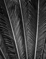 Cycad. Sego Palm. Tropical Gardens of Maui. Maui, Hawaii.