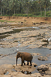 Pinnawela Elephant Orphanage near Kandy. This popular attraction, established as a sanctuary covering 25 acres of lush forest by the Sri Lankan Government in 1975, is unique. Its purpose is to feed, nurse and house young elephants lost or abandoned by their mothers. 75 elephants roam free and go bathing every day in the river nearby..
