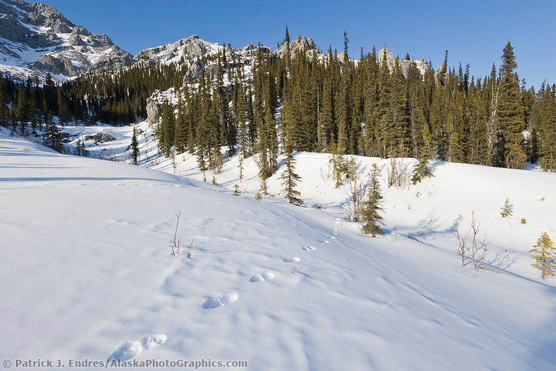 Lynx tracks in the snow, White Mountains National Recreation Area, interior, Alaska.