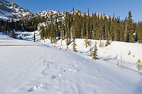 Lynx tracks in the snow, White Mountains National Recreation Area, Interior, Alaska.