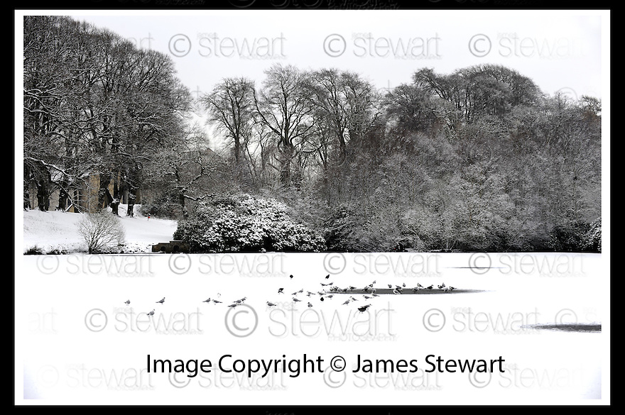 09/02/2009  Copyright Pic: James Stewart.File Name : sct_jspa18_snow.BIRDS ON THE FROZEN LAKE AT CALLENDAR PARK FALKIRK .James Stewart Photo Agency 19 Carronlea Drive, Falkirk. FK2 8DN      Vat Reg No. 607 6932 25.Studio      : +44 (0)1324 611191 .Mobile      : +44 (0)7721 416997.E-mail  :  jim@jspa.co.uk.If you require further information then contact Jim Stewart on any of the numbers above.........