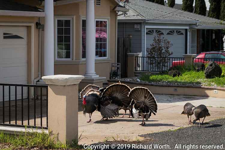 A posse of wild turkeys visits an urban driveway while making their way from a neighborhood park to a nearby green space in the hills east of San Francisco Bay.
