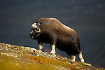 Musk Ox and Sea Eagles