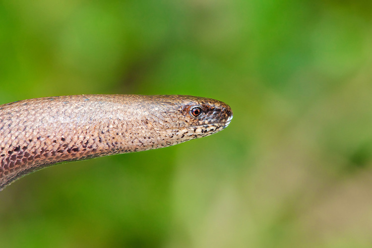 Slow-worm (Anguis fragilis) reaching out suspended. Slow worm do have a pair of eye so a little mis leading to refer to them as blind worms. One of the biggest causes of mortality in slow worms in suburban areas is the domestic cat, against which it has no defence. UK
