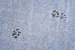 Cat footprints on the street of Chefchaouen, Morocco.