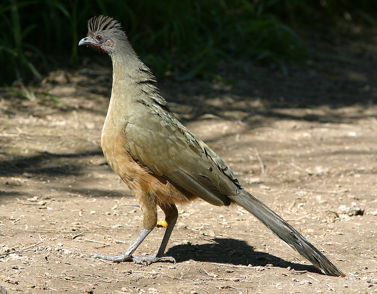 Adult male plain chachalaca on grond with crest raised