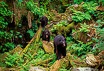 American Black Bear, Ursus americanus, Anan Creek, Tongass National Forest, Alaska, USA