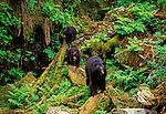 American Black Bear, Ursus americanus, Anan Creek, Tongass National Forest, Alaska, USA