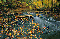 Sugar maples and Bridal Veil Creek<br /> Bedford Reservation,  Metroparks<br /> Cayahoga Valley National Park<br /> Cuyahoga County,  Ohio