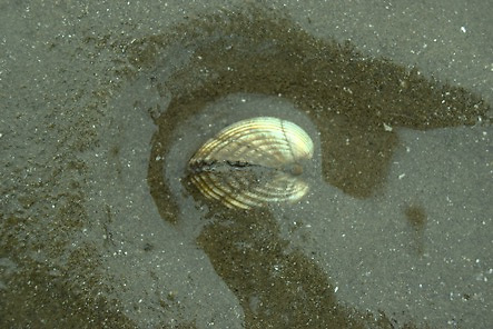 A buried cockle