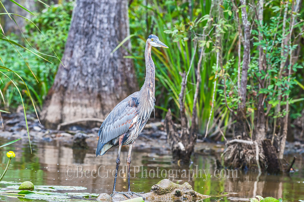 We capture this Blue Heron on a swamp tour we took at the Honey Island Swamp tours  outside of New Orleans.  We did find it a bit difficult to capture the birds on the tour since they didn't slow down much.