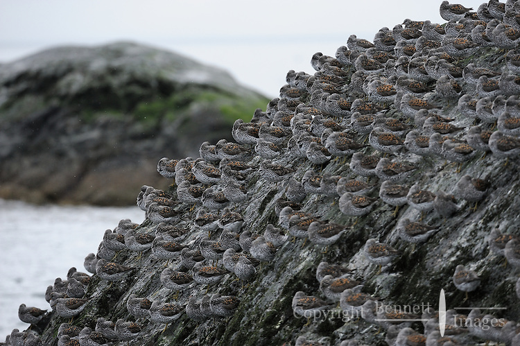 Surfbirds (Aphriza virgata) rest on the Gravina Rocks in Port Gravina, Prince William Sound, Southcentral Alaska, during their annual spring migration in early May.