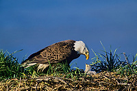 Bald eagle (Haliaeetus leucocephalus) nest--adult has been feeding eaglet very small pieces of fish.