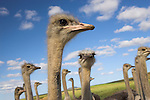 Ostriches, Struthio camelus, on ostrich farm, Western Cape, South Africa