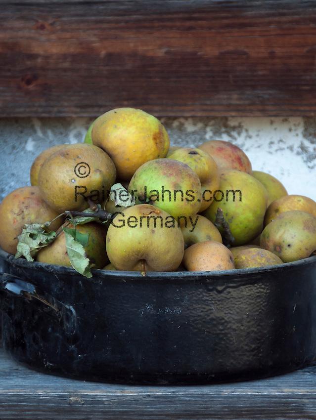 Germany, Upper Bavaria, Chiemgau, Sachrang: gathered apples from a traditional orchard   Deutschland, Bayern, Oberbayern, Chiemgau, Sachrang: gepflueckte Aepfel von der Streuobstwiese