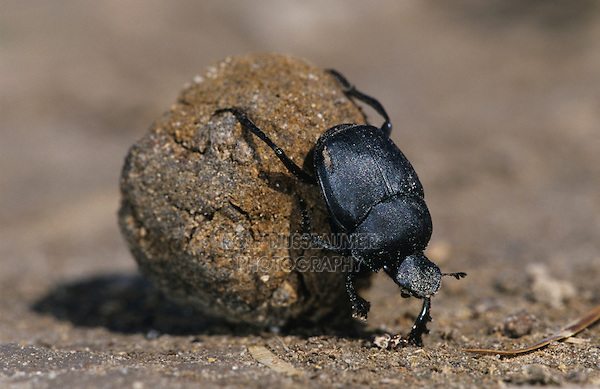 Dung Beetle, Scarabaeinae, adult on dung ball, Starr County, Rio Grande Valley, Texas, USA