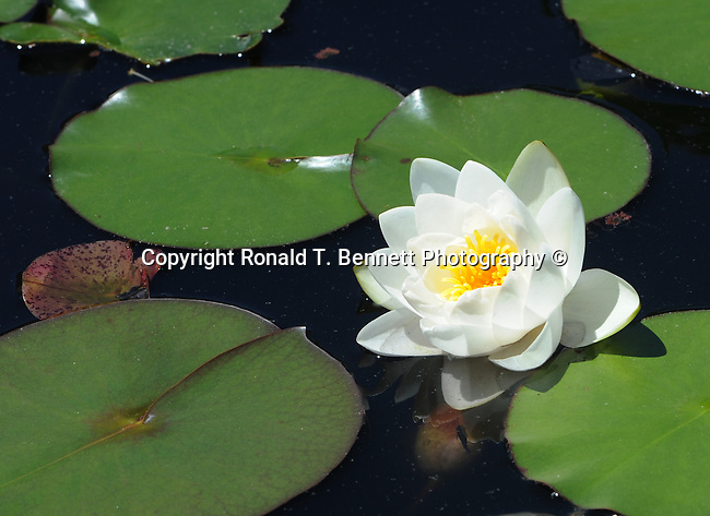 White water lilies pool Nympheas flowering aquatic plant, Dicotyledoneae, Archichlamydeae, flowering plants bear petals separately, Ranales, petals on the stem, tropical water lilies, Lotus, Nelumbo, Water lily family, Hardies,