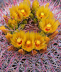 Anza-Borrego Desert State Park, CA<br /> Cluster of yellow blossoms on Barrel Cactus (Ferocactus acanthodes) with pink spines