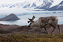 Norway, Svalbard,  Svalbard reindeer, glacier in background