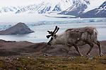 Norway, Svalbard,  Svalbard reindeer, glacier in background