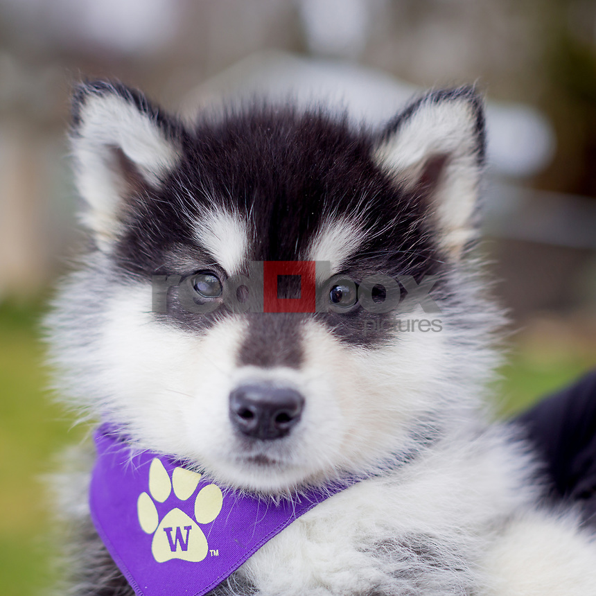 the new university of washington mascot dubs ii huskies photo