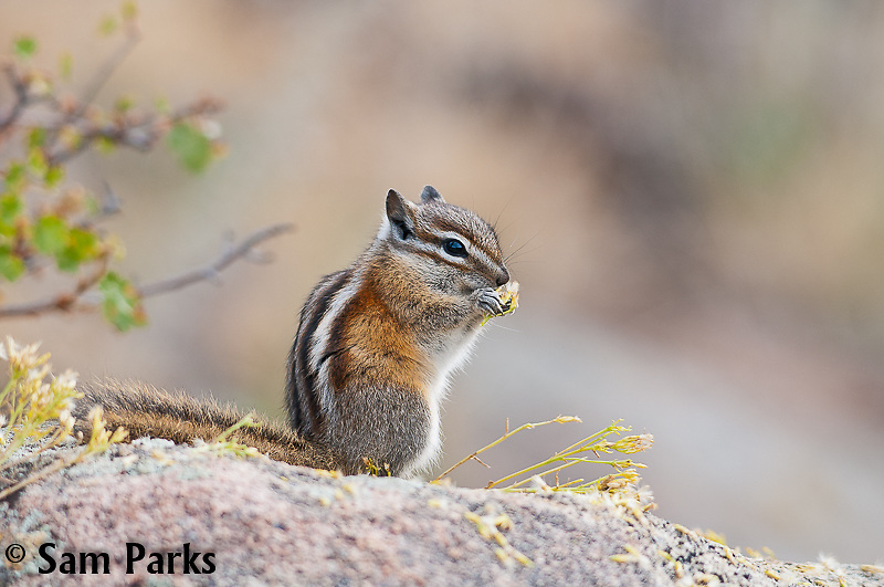 Least chipmunk feeding. Rocky Mountain National Park, Colorado.