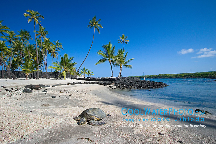 Green Sea Turtle, Chelonia mydas, basking in the sun on beach at Keone`ele Cove, the Great Wall bult in the mid-1500s, and Coconut Palms, Cocos nucifera, in background, Pu`uhonua o Honaunau or Place of Refuge National Historical Park, Honaunau, Big Island, Hawaii