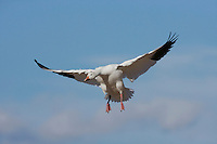 Snow Goose (Chen caerulescens), adult landing, Bosque del Apache National Wildlife Refuge , New Mexico, USA,