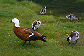 Female Paradise Shelduck, Tadorna variegata, with ducklings,Mackenzie District, Canterbury, South Island, New Zealand.