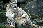 Snow leopard, captive, Panthera uncia, spotty pattern dense fur....