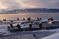 Bald Eagles along Kachemak Bay near Homer, Alaska.  March.