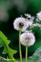 DN06-016z  Dandelion - seeds blowing in the wind -  Taraxacum officinale