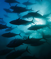 qb2116-D. Southern Bluefin Tuna (Thunnus maccoyii), in tuna farm. South Australia, Pacific Ocean..Photo Copyright © Brandon Cole. All rights reserved worldwide.  www.brandoncole.com..This photo is NOT free. It is NOT in the public domain. This photo is a Copyrighted Work, registered with the US Copyright Office. .Rights to reproduction of photograph granted only upon payment in full of agreed upon licensing fee. Any use of this photo prior to such payment is an infringement of copyright and punishable by fines up to  $150,000 USD...Brandon Cole.MARINE PHOTOGRAPHY.http://www.brandoncole.com.email: brandoncole@msn.com.4917 N. Boeing Rd..Spokane Valley, WA  99206  USA.tel: 509-535-3489
