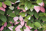 Plant with pink green and white leaves, Royal Botanic Gardens, Kew, London UK