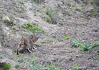 A bobcat pauses on a hillside in Pinnacles National Park.