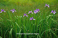 63899-05110 Blue Flag Irises (Iris virginica) in wetland, Marion Co.  IL