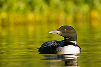 Common Loon in the golden evening light on Flat lake, Alaska.