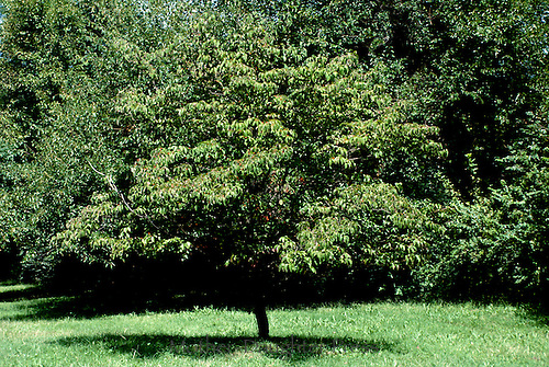 Four seasons of a Dogwood tree, Conus florida: Full green leaves in summer