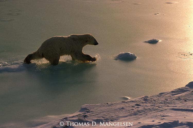 A polar bear walks through water in Canada.