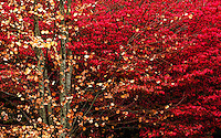 Burning Bush with Katsura Tree, Seattle, Washington