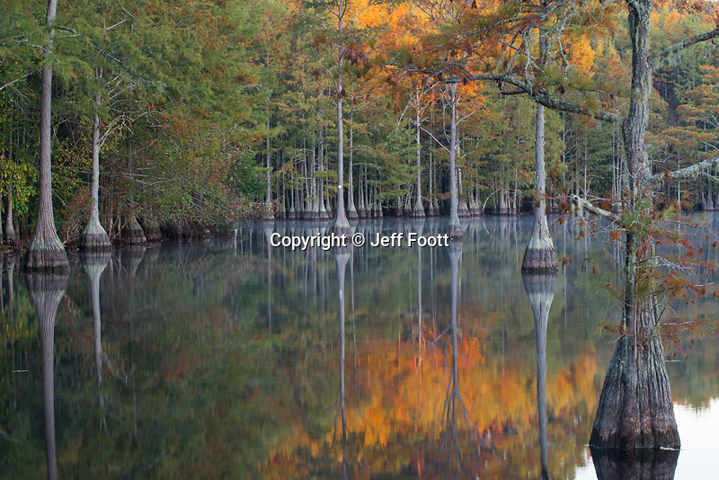 Bald Cypress in fall, George L. Smith State Park, Georgia.